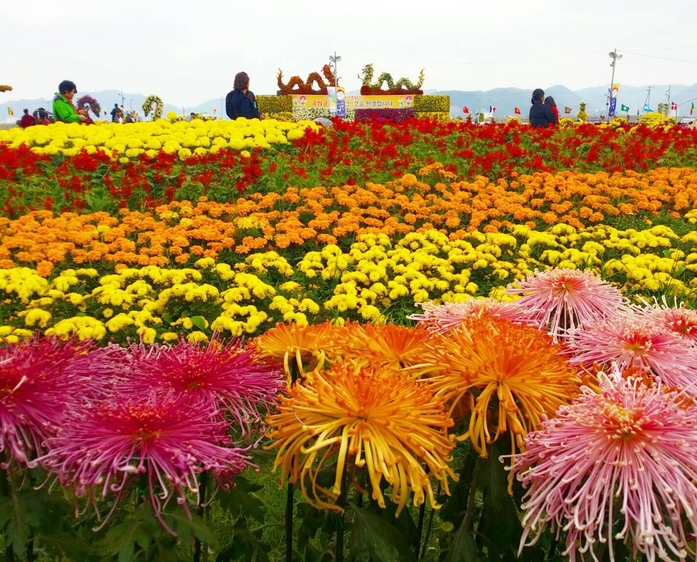 馬山菊祭り_d0160145_15232338.jpg