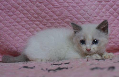 ラグドール子猫2ヶ月になりました。_e0033609_19014490.jpg
