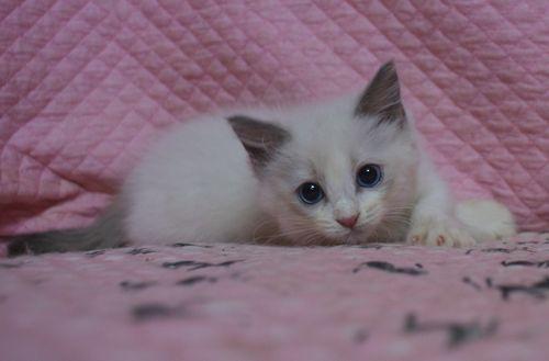 ラグドール子猫2ヶ月になりました。_e0033609_19015947.jpg