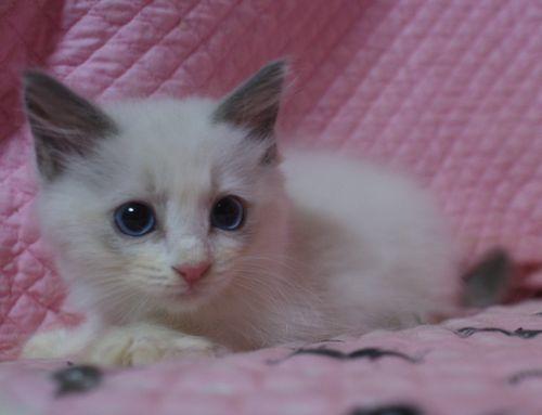 ラグドール子猫2ヶ月になりました。_e0033609_19022575.jpg