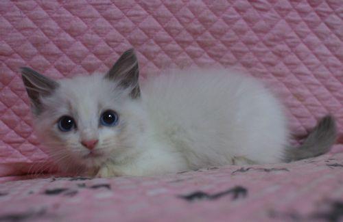 ラグドール子猫2ヶ月になりました。_e0033609_19024125.jpg