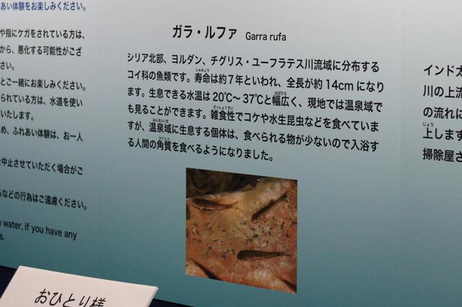 しながわ水族館:不老不死のクラゲと人間の角質を食べる魚_b0355317_12054665.jpg