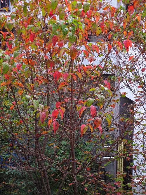 ■我が家の赤い葉たち、そして週替わりの夕暮れ[11/12-13]_d0190217_2117532.jpg