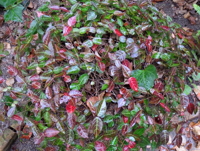 ■我が家の赤い葉たち、そして週替わりの夕暮れ[11/12-13]_d0190217_22191850.jpg