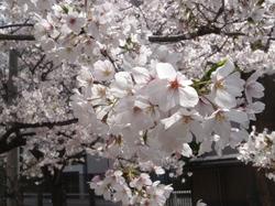 桜日和_e0359436_15193270.jpg