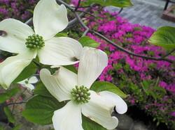 花水木とツツジ_e0359436_15200088.jpg