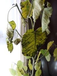 はじめての観葉植物_e0359436_22490661.jpg