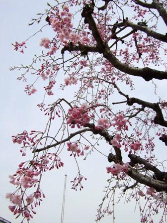 4月3日の枝垂桜よ_e0359436_22521393.jpg