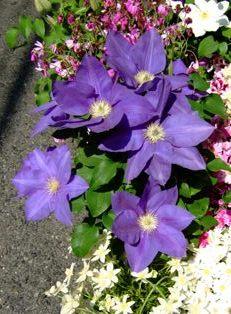 咲かないクレマチス_e0359436_22533558.jpg