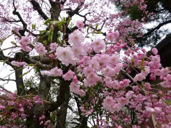桜だより_e0359436_23364214.jpg
