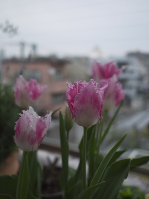 チューリップもピンクが好きらしい_e0359436_23445249.jpg