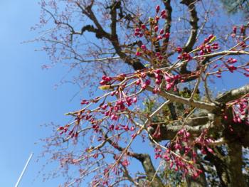 桜観察_e0359436_23504616.jpg
