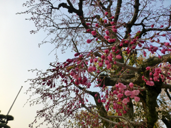桜観察_e0359436_23504643.jpg