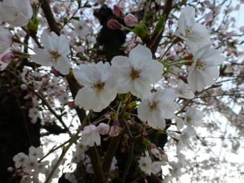 桜観察_e0359436_23504686.jpg