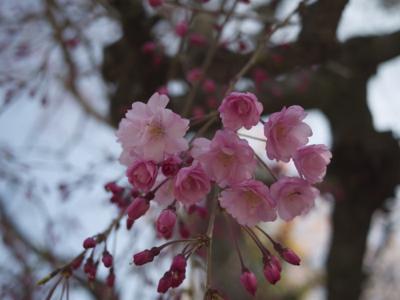 桜が見ごろとなりました_e0359436_23553660.jpg