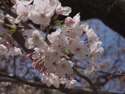 桜が見ごろとなりました_e0359436_23553663.jpg