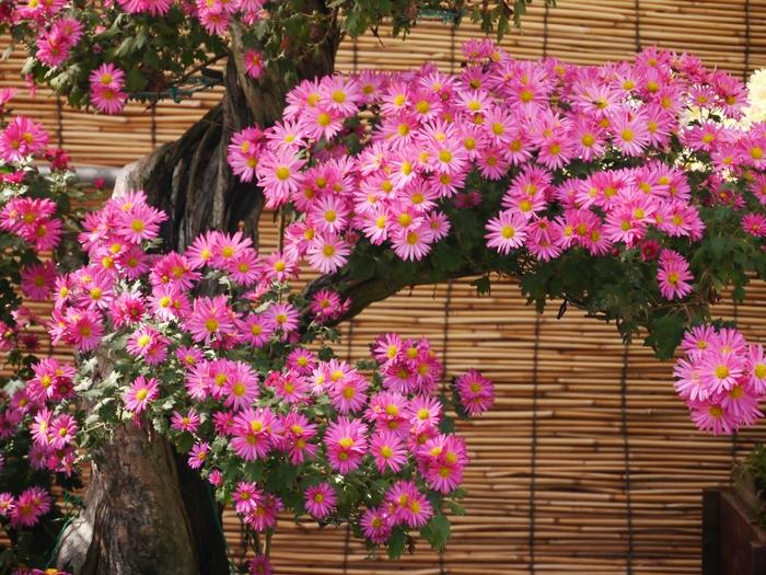 菊花展_b0093754_20125624.jpg