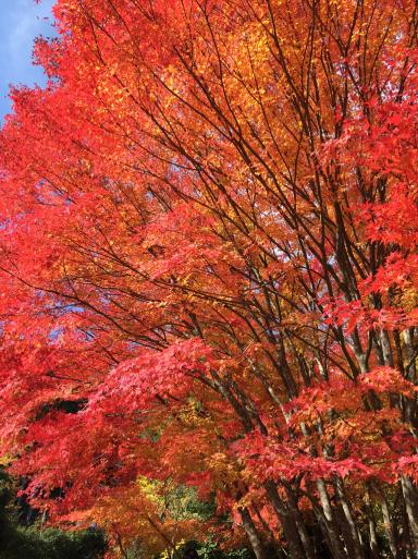 あまりに綺麗な紅葉_c0223630_00244673.jpg