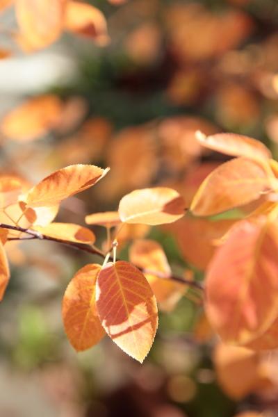 ジューンベリーの紅葉?黄葉?_a0227137_2221385.jpg