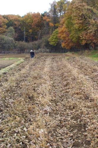 自家製味噌用の大豆を収穫する_c0110869_1331295.jpg