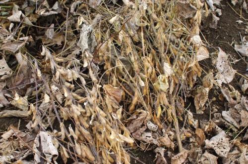 自家製味噌用の大豆を収穫する_c0110869_13314853.jpg