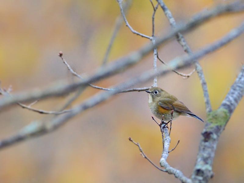 秋色から初冬のルリビタキたち_a0204089_549277.jpg