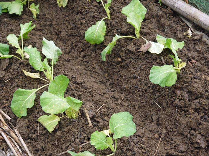 超品薄タマネギと春キャベツの苗を植え付け11・14~15_c0014967_521212.jpg