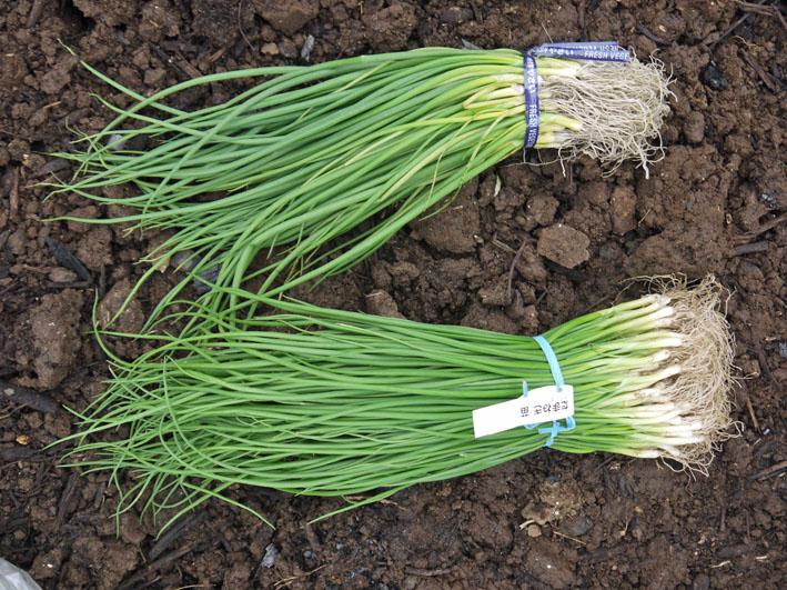 超品薄タマネギと春キャベツの苗を植え付け11・14~15_c0014967_5221552.jpg