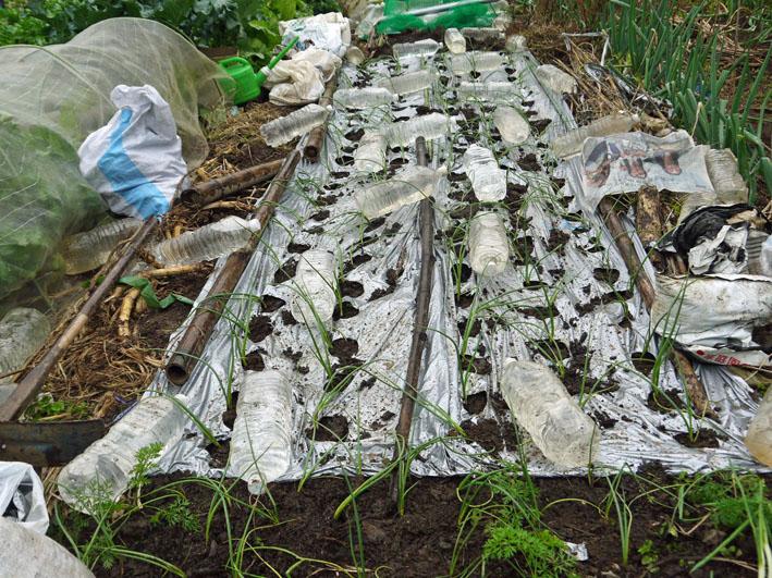 超品薄タマネギと春キャベツの苗を植え付け11・14~15_c0014967_522311.jpg