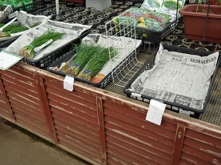 超品薄タマネギと春キャベツの苗を植え付け11・14~15_c0014967_522413.jpg