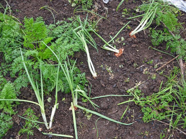 超品薄タマネギと春キャベツの苗を植え付け11・14~15_c0014967_5231875.jpg