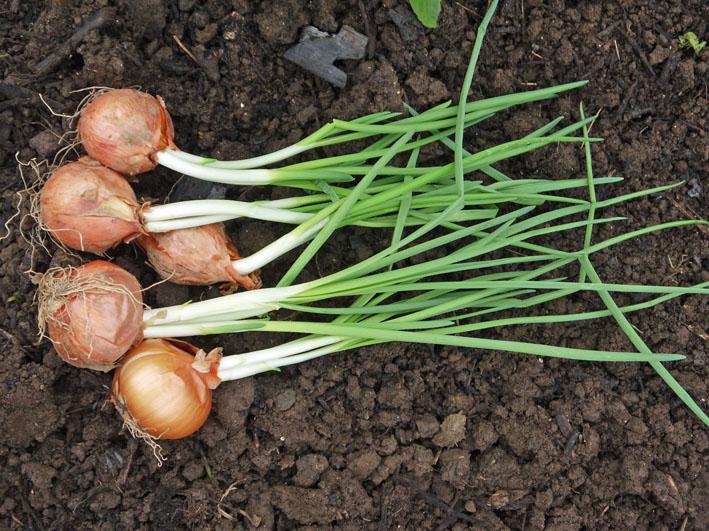 超品薄タマネギと春キャベツの苗を植え付け11・14~15_c0014967_523364.jpg