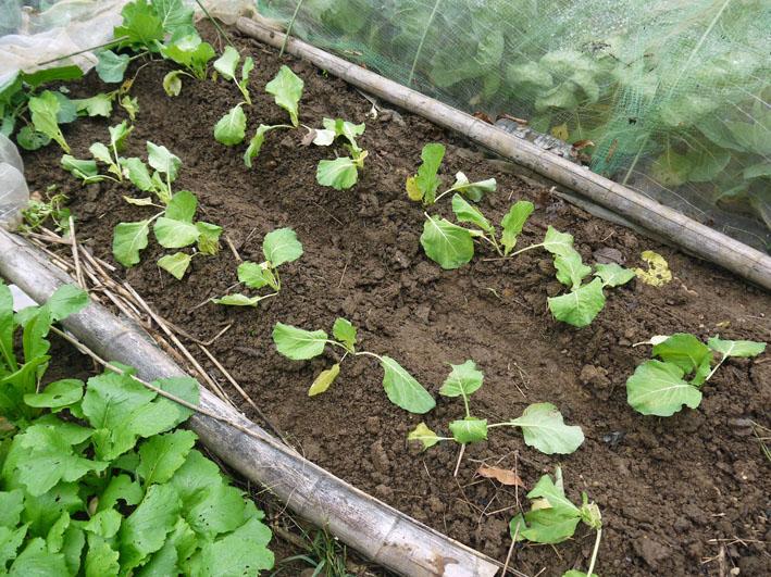 超品薄タマネギと春キャベツの苗を植え付け11・14~15_c0014967_5235249.jpg
