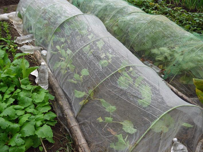 超品薄タマネギと春キャベツの苗を植え付け11・14~15_c0014967_524203.jpg