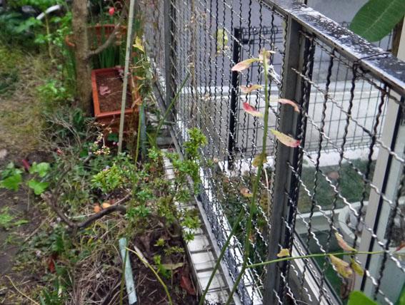 自宅の庭のブルーベリー合計6本に11・14_c0014967_8244096.jpg