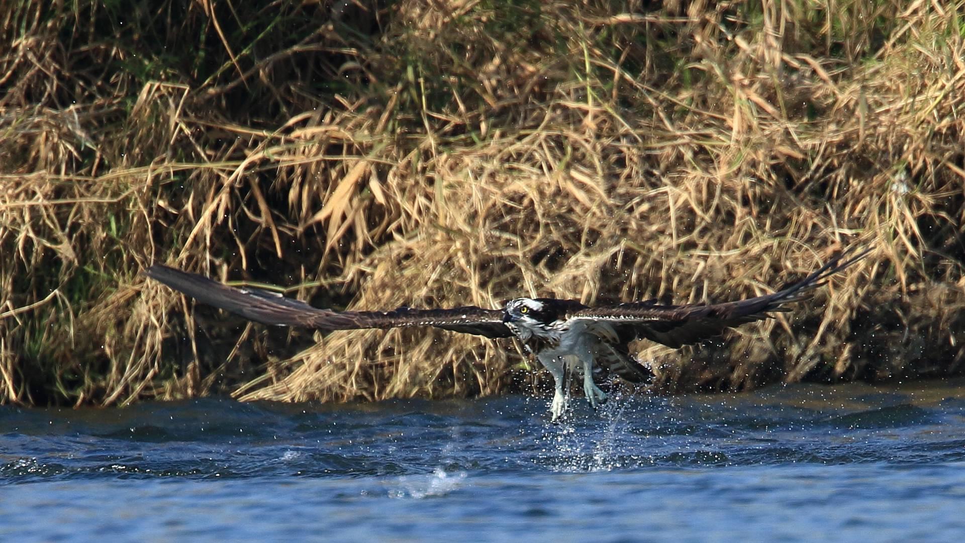 相模川のミサゴ漁は失敗_f0105570_21585841.jpg
