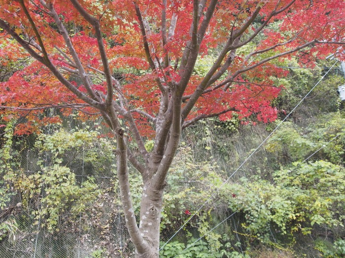 背振路の紅葉と山奥の柿_a0149488_192012100.jpg