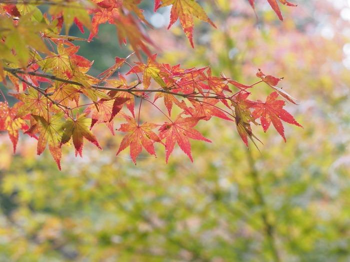 背振路の紅葉と山奥の柿_a0149488_19202523.jpg