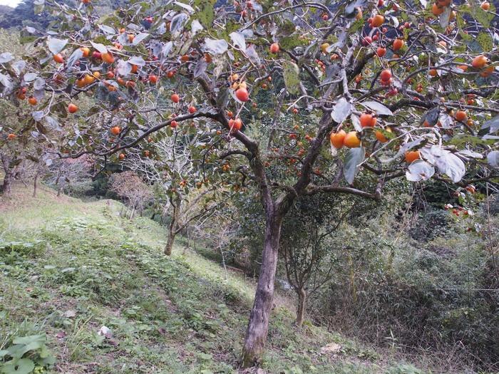 背振路の紅葉と山奥の柿_a0149488_19203796.jpg