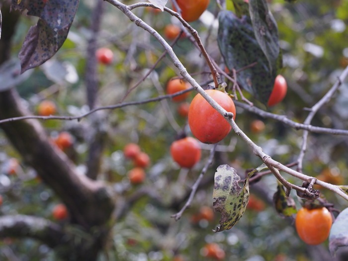 背振路の紅葉と山奥の柿_a0149488_19205025.jpg