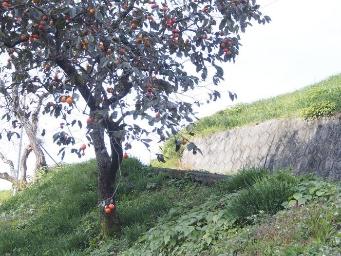 背振路の紅葉と山奥の柿_a0149488_1921570.jpg