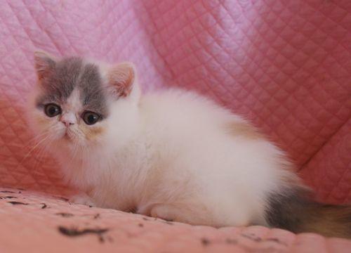 エキゾ赤ちゃん 9月12日生まれ にっちゃん子猫 ダイリュートキャリコBちゃん_e0033609_12402048.jpg