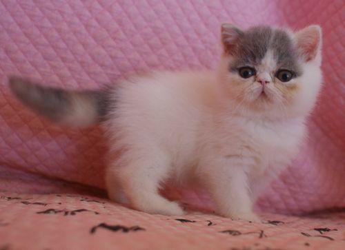 エキゾ赤ちゃん 9月12日生まれ にっちゃん子猫 ダイリュートキャリコBちゃん_e0033609_12403854.jpg