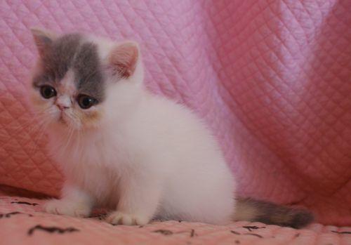 エキゾ赤ちゃん 9月12日生まれ にっちゃん子猫 ダイリュートキャリコBちゃん_e0033609_12404953.jpg