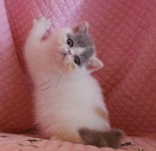エキゾ赤ちゃん 9月12日生まれ にっちゃん子猫 ダイリュートキャリコBちゃん_e0033609_12411923.jpg