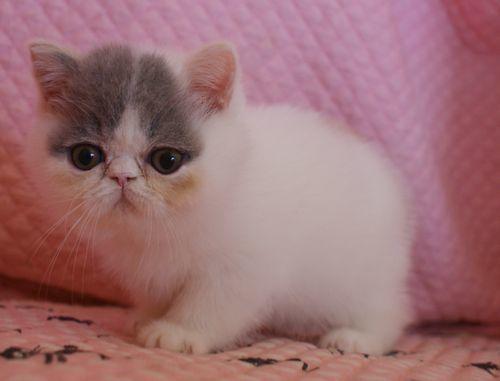 エキゾ赤ちゃん 9月12日生まれ にっちゃん子猫 ダイリュートキャリコBちゃん_e0033609_12413256.jpg