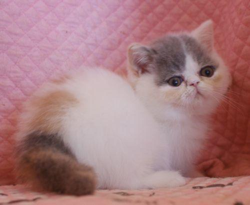 エキゾ赤ちゃん 9月12日生まれ にっちゃん子猫 ダイリュートキャリコBちゃん_e0033609_12414527.jpg