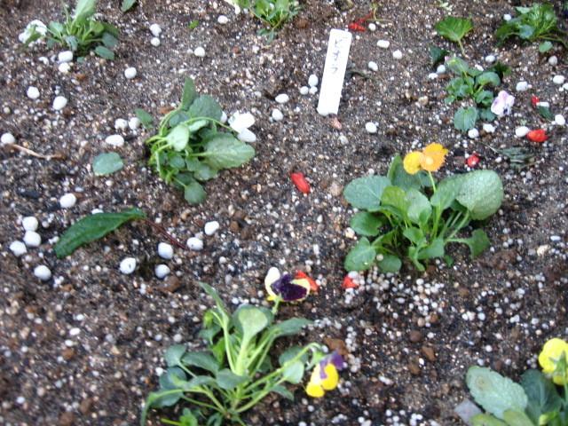 ガーデンふ頭総合案内所前花壇の植替えH28.11.16_d0338682_15194400.jpg