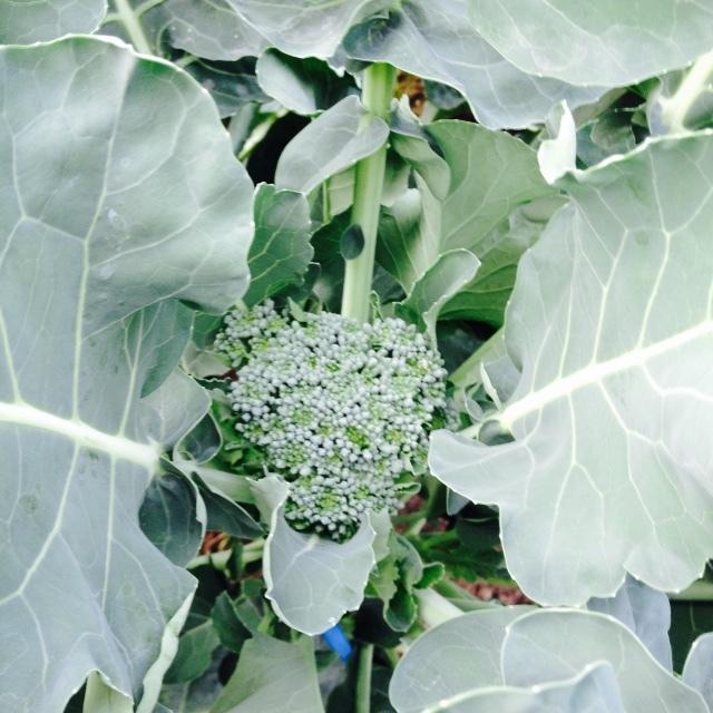 葉野菜_f0204295_13531054.jpg