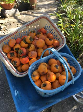 柿豊作の折_a0163160_14402176.jpg